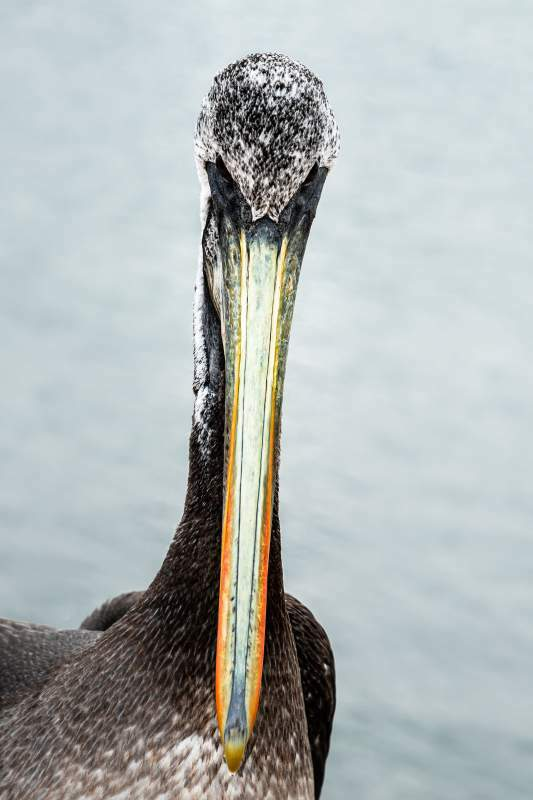 His Majesty the Pelican